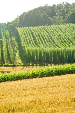 llegar tarde: Un campo de l�pulo a finales de verano, listos para ser cosechados. Foto tomada en Hallertau (Holledau), Alemania. Este es el m�s grande del mundo, zona de cultivo de l�pulo.