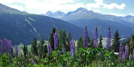 The Swiss Alps in summer with blloming lupines in the foreground. Picture taken above Davos, at about 1800 m.  Stock Photo