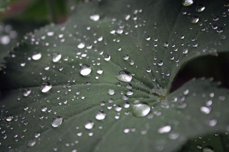 Drops from a rain shower on a big leaf.  photo