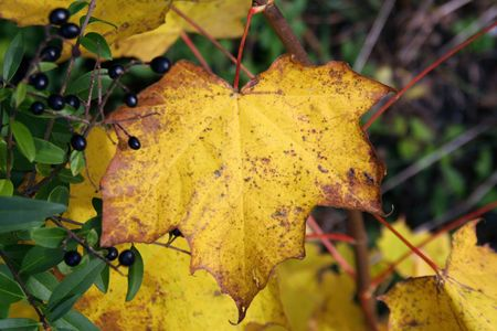 decaying: A beautiful yellow maple leaf that will soon fall down.  Stock Photo