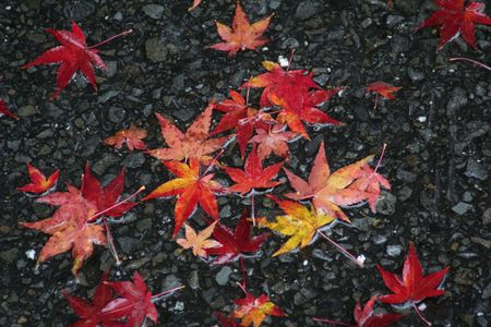 rain japan: Beautiful maple leaves lying on the road in the rain. Seen in Japan.