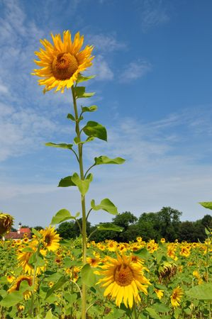 A single high sunflower over a field of sunflowers.