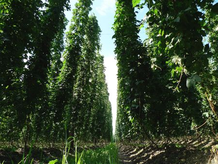 ripeness: Inside a field of large and ready to be harvested hops. Hops is needed for the production of beer.  Stock Photo