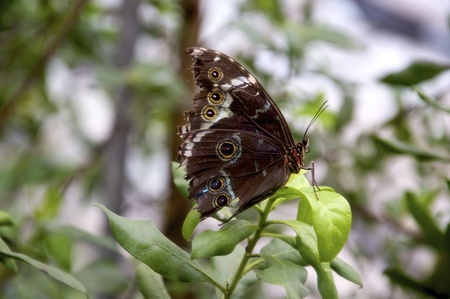 mimicry: Closeup of a beautiful owl butterfly. It has eyes on the wings to frighten predators, an example of mimicry.