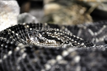 Closeup of a rattlesnakes head  photo