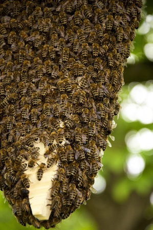 Huge Swarm of honey bees with thousands of individuals