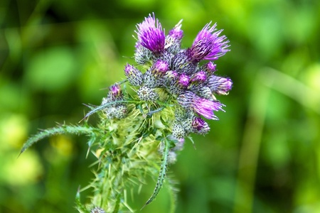 Violet blossom of a thistle (Onopordum acanthium)
