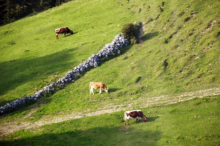 dairying: Three cows grazing on a steep alp in the Bavarian Alps Stock Photo