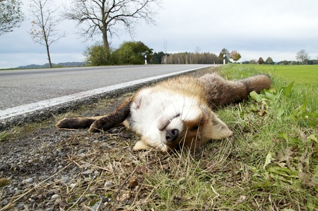 overrun: Killed by traffic: Fox at the roadside.