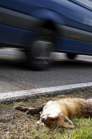 dead animal: Car driving past a roadkill fox.