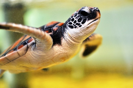 Baby Sea turtle under water photo