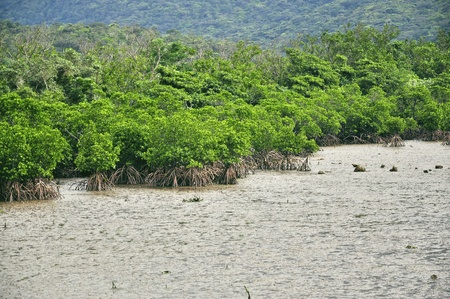 mangrove forest: Mangrove Trees standing in a  muddy brown river, their roots exposed as it is ebb.