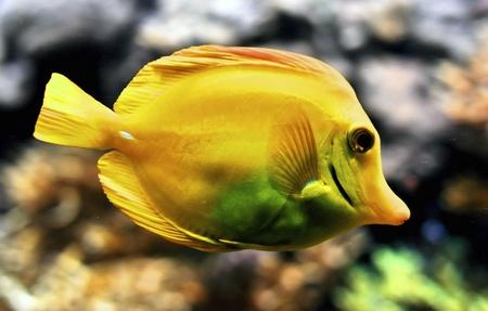 surgeon fish: Primer plano de una espiga amarilla de la familia de cirujano