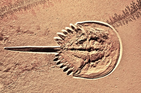 petrified fossil: Fosilized Horseshoe crab  Theses animals are considered living fossils, as they have not much changed in the 400 million years