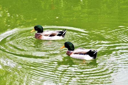 mallard: Dos patos machos de ánade real en un estanque verde Foto de archivo