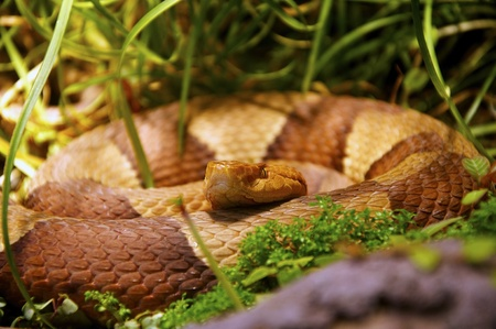 lurking: Snake lurking in the deep grass Stock Photo