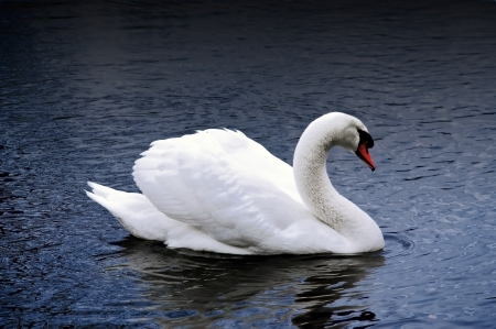 Beautiful mute swan swimming  on a dark lake   photo