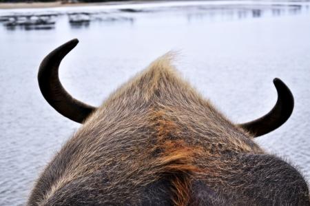 water buffalo:  Asian Water Buffalo (Bubalus bubalis) from behind.