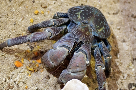 The tank-like Coconut Crab is the largest land living arthropod -These claws can crack cononuts!