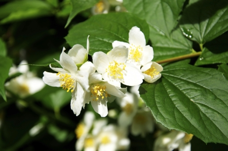 Jasmine Blossoms are often used for the production of fragrance or tea