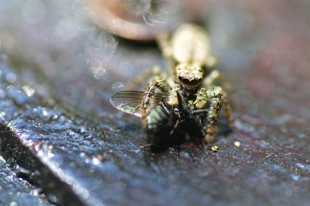 eight legged: Closeup of a small Wolf spider eating a fly  Focus is on spider Stock Photo
