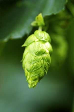 bitterness: Closeup of a bud of hops, humulus, used for brewing beer