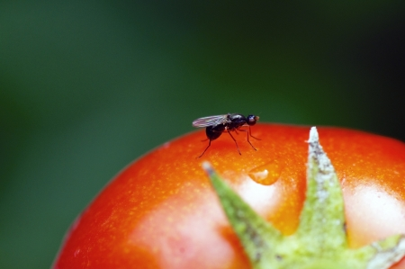 nuptial: A male ant drone is resting on a ripe tomatoe during its nuptial fight   Stock Photo