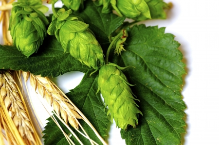 Barley and Hops are the Most Important Ingredients for Beer