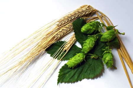hops: Ripe Barley and Hops, the two main ingredients of beer   Stock Photo