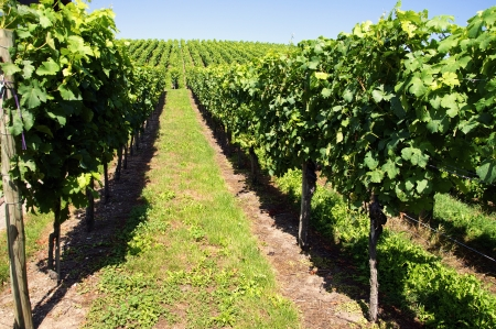 mosel: Vineyard in Middle Europe in Summer