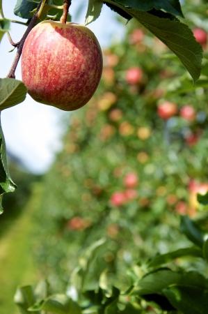 llegar tarde: Manzana madura en una plantaci�n a finales de verano, listo para ser cosechado