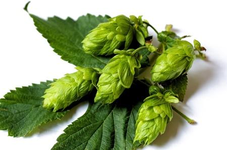umbel: Closeup of Hops umbels on a hops leaf