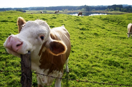 Happy Cow on the pasture, scratching its head with a fence post