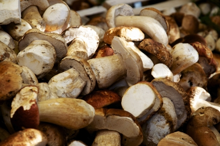 Large Quantity of Boletus or Porcino mushrooms  This is on of the finest edible mushrooms