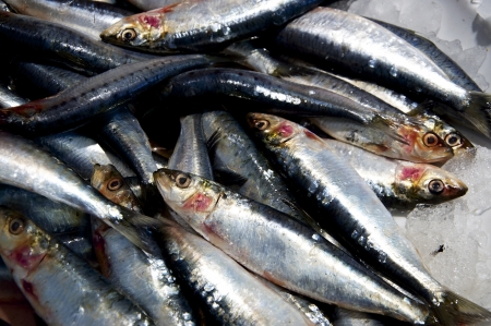 fish shop: Fresh frozen sardines  pilchards  on ice