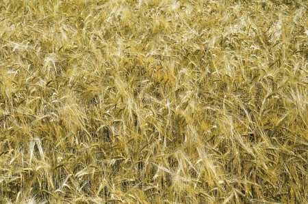 Field of ripe Barley, could be used as a texture photo