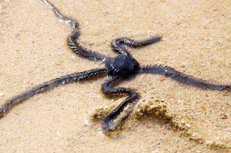 echinoderm: Brittle Star in the Shallow Water Stock Photo