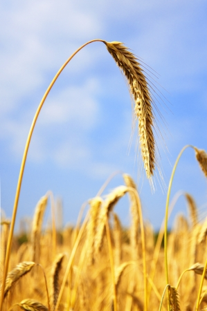 ripened: Golden ripened Barley, ready to be harvested Stock Photo