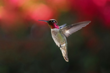 Male anna s hummingbird