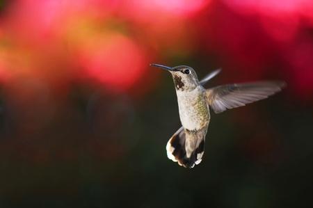 anna: Female anna s hummingbird