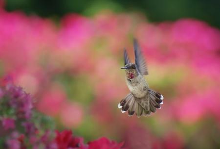 アンナのハチドリ