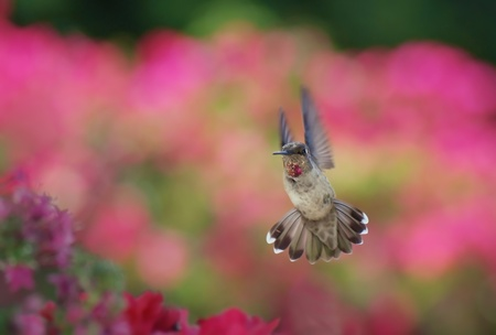 Anna s hummingbird Stock Photo