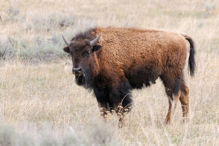 Young Bison  Buffalo  in Yellowstone National Park , Wyoming  USA
