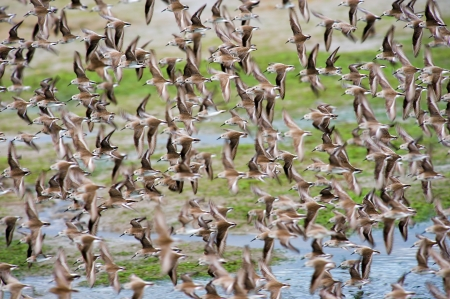 chica: Clouds of Western Sandpiper flying in Bolsa Chica Wetlands - Orange County, California