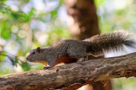 pallas: Pallas squirrel Stock Photo