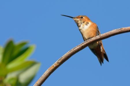 rufous: Rufous Hummingbird