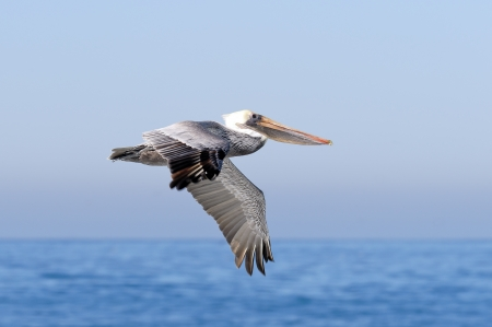 Brown Pelican in Flight photo