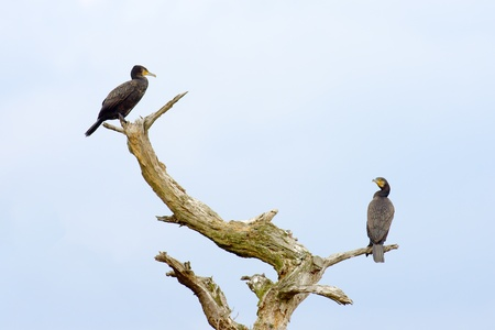 arbre mort: Deux cormorans sur une branche d'arbre mort