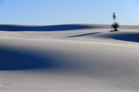 chihuahua desert: A Yucca plant in the White Sands National Monument, New Mexico, USA.