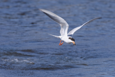 forster: Common Tern Stock Photo